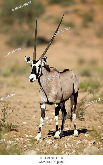 Gemsbok (South African oryx) (Oryx gazella), Kgalagadi Transfrontier Park encompassing the former Kalahari Gemsbok National Park, South Africa, Africa