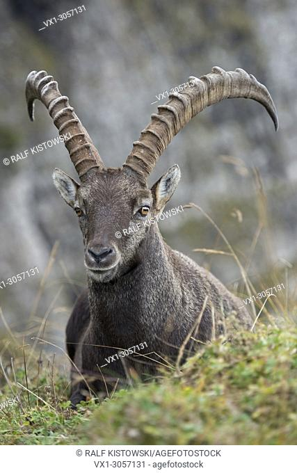 Alpine Ibex ( Capra ibex ), male, resting in wonderful high mountains range, wildlife, Europe