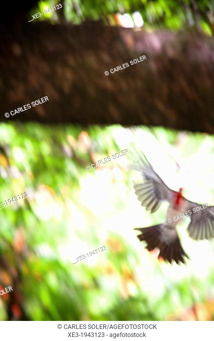Red-crested Cardinal in flight, Oahu, Hawaii