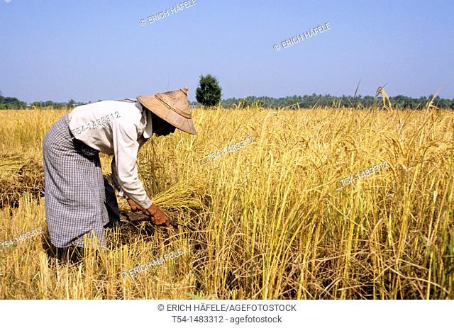 Farmer harvests rice in Myanmar