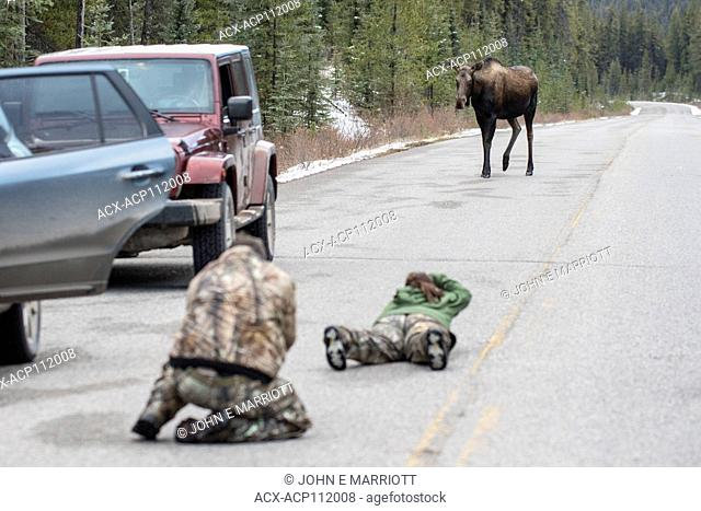 Photographing a cow moose in Jasper National Park
