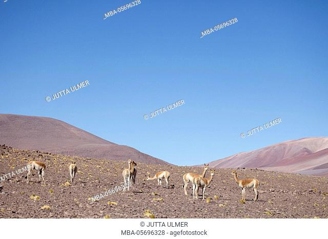Chile, national park Nevado Tres Cruzes, Laguna del Negro Francisco, Vicunas