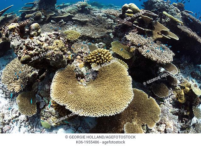 Table coral (Acropora sp.) formations on shallow reef top. Maldives