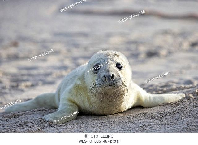 Germany, Schleswig-Holstein, Helgoland, Duene Island, portrait of grey seal pup (Halichoerus grypus) lying on the beach