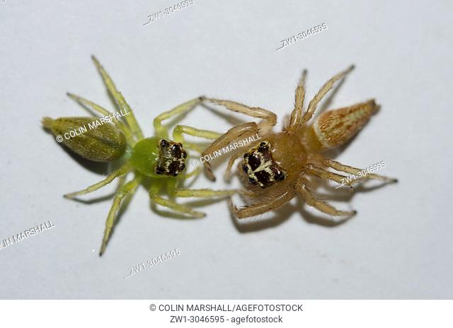 Adult female and Subadult Jumping Spiders (Araneae order, Salticidae family, Artabrus erythrocephalus), female is the larger brown one