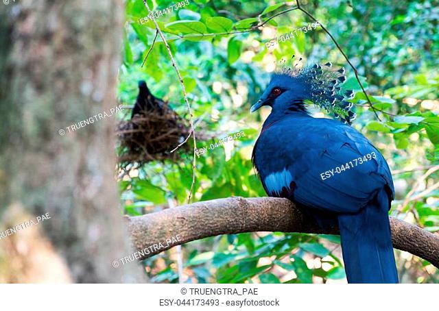 Victoria crowned pigeon on tree, Beautiful of bird