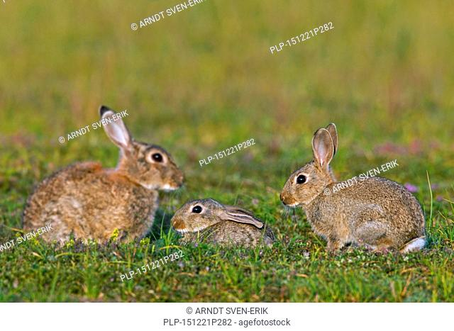 European rabbits / common rabbit (Oryctolagus cuniculus) adult with two young in meadow