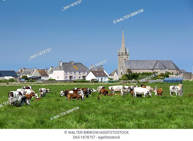 France, Normandy Region, Manche Department, D-Day Beaches Area, Les Gougins, town view with cattle