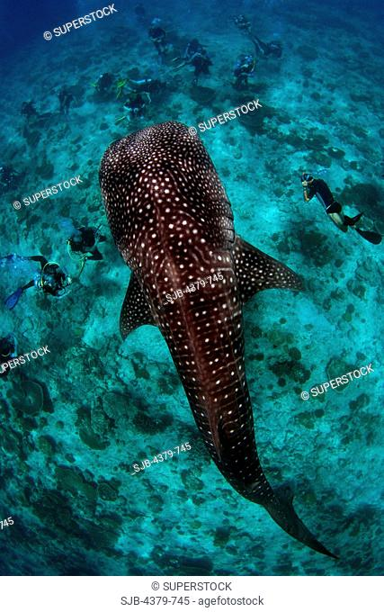 Divers flock around a whale shark Rhincodon typus on the reef, South Ari Atoll, The Maldives