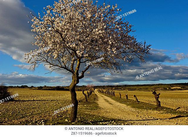 Almond tree in bloom, Los Pandos estate, Almansa, Albacete province, Castilla-La Mancha, Spain