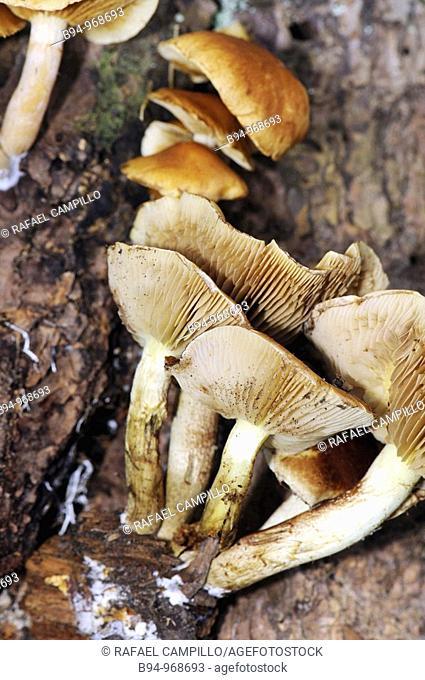 Mushroom (Pleurotus sp.). Osseja, Languedoc-Roussillon, Pyrenees Orientales, France