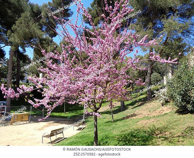 Carob tree (Ceretonia siliqua). Catalonia, Spain