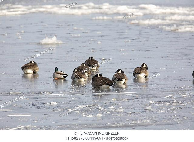 Canada Goose (Branta canadensis) flock, with Mallard Duck (Anas platyrhynchos) adult male, resting on ice during cold morning, North Dakota, U.S.A