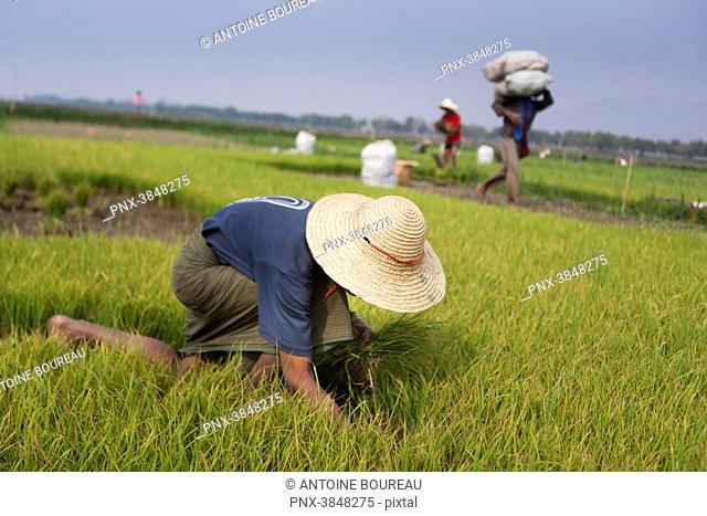 Child working in a rice paddy field, Nyaung Shwe, Burma