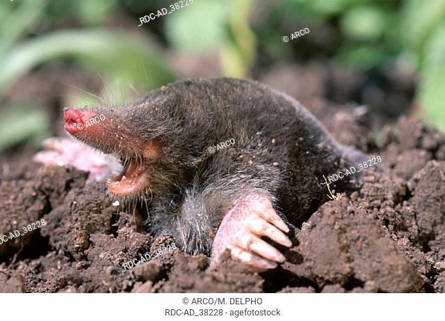 European Mole Hessen Germany Talpa europaea