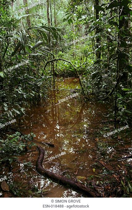 Rainforest - heavy rainfall creates muddy conditions, Indonesia