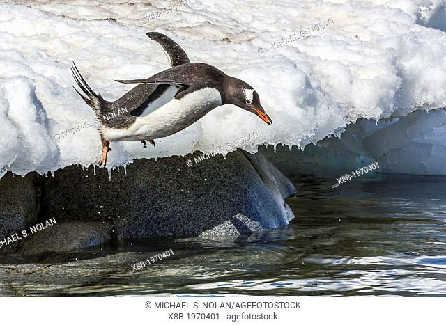 Adult gentoo penguins, Pygoscelis papua, leaping into the sea at Port Lockroy, Antarctica, Southern Ocean