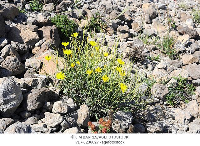 Lechuguilla falsa (Launaea fragilis) is a perennial herb native to eastern Spain and northwestern Africa. This photo was taken in Cabo de Gata Natural Park