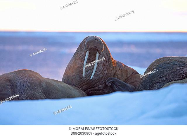 Russia, Chukotka autonomous district, Wrangel island, Pack ice, Pacific walrus Odobenus rosmarus divergens, resting on ice floe