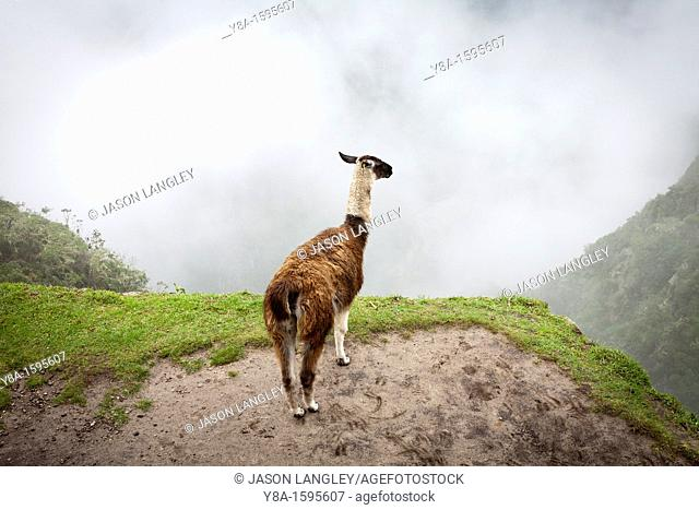 A Llama L  glama overlooking the foggy valley at Machu Picchu, Peru