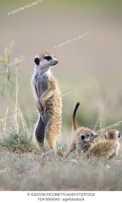 Suricate (Suricata suricatta), watching. Always alert to the possible attack of a predator. While watching the rest of the group is dedicated to hunt all kinds...