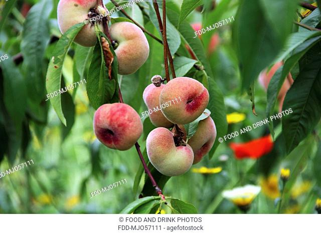 Peaches growing on tree