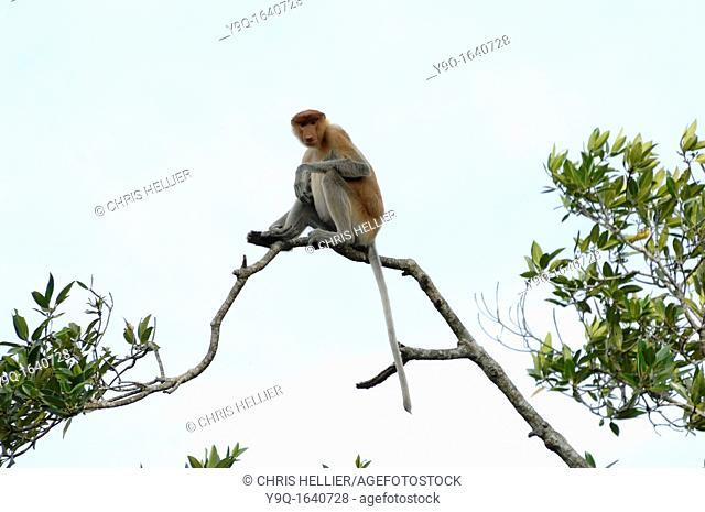 Proboscis Monkey in Mangrove Tree at the Labuk Bay Proboscis Monkey Sanctuary Sabah Borneo Malaysia