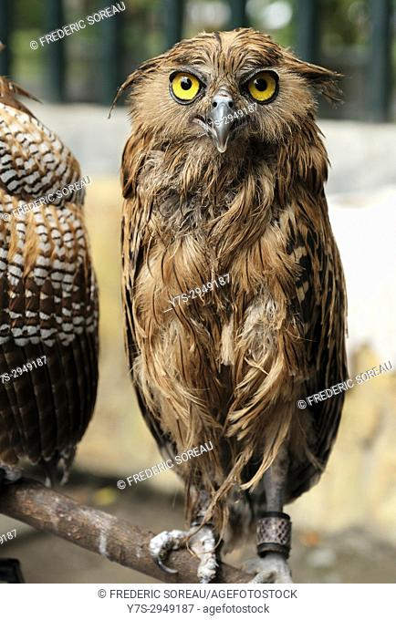 Eurasian eagle owl in Java, Indonesia, Southeast Asia
