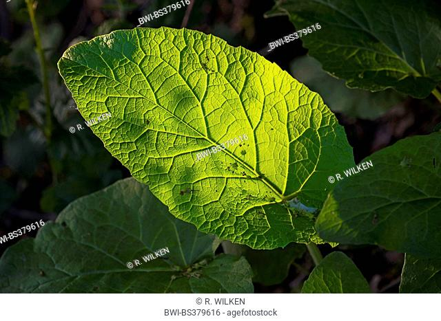 leaf in backlight, Germany, North Rhine-Westphalia