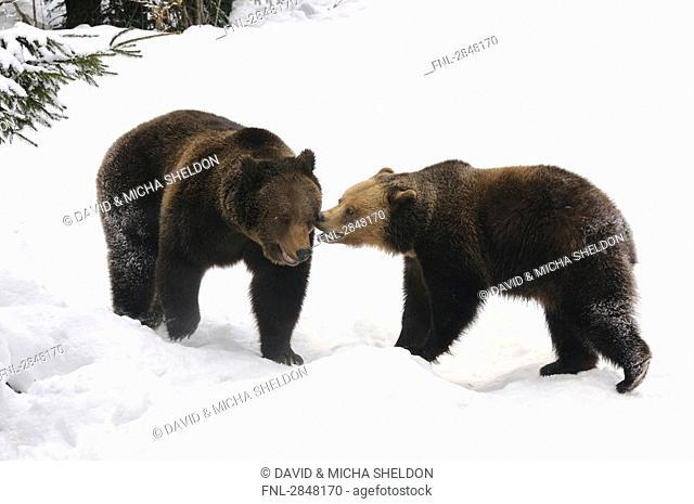 Two Brown bears Ursus arctos playing in snow, Bavarian Forest National Park, Bavaria, Germany