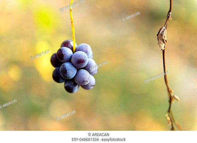 Small bunches of grapes left in the vineyard after harvest in the late autumn, at the bottom the colorful landscape is blurry