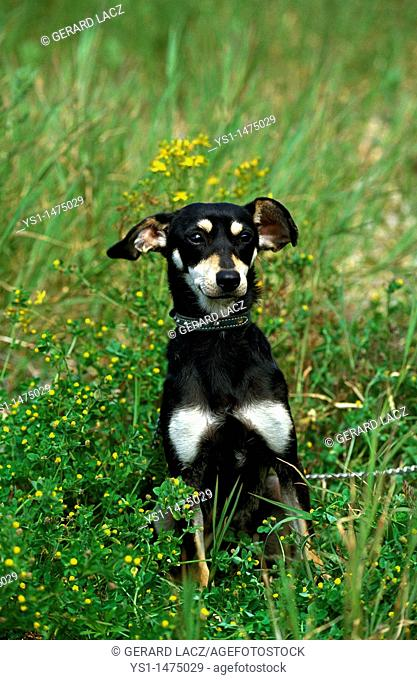 Domestic Dog with Collar, Adult sitting on Grass
