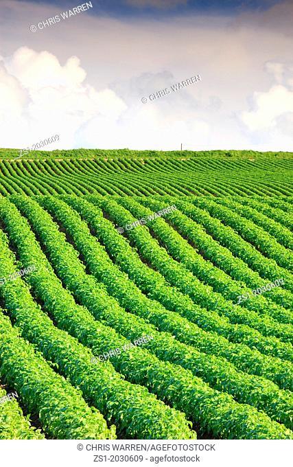 Field of potatoes growing Pembrokeshire Wales