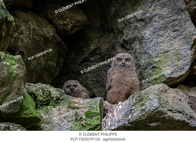 Three Eurasian eagle owl (Bubo bubo) chicks / fledglings sitting in nest on rock ledge in cliff face