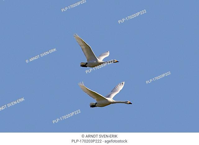 Two tundra swans (Cygnus columbianus) / Bewick's swan (Cygnus bewickii) in flight against blue sky