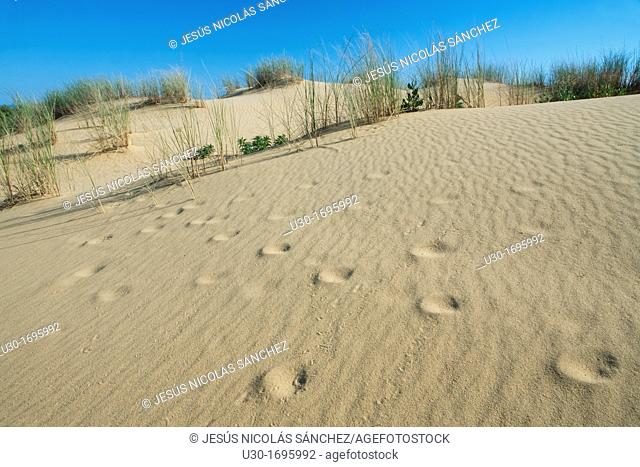 Footprints in the dunes of Doñana Natural Park, Huelva province  Andalusia  Spain