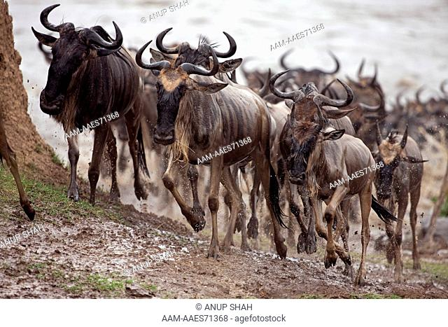 Eastern White-bearded Wildebeest herd emerging having crossed the Mara River (Connochaetes taurinus). Maasai Mara National Reserve, Kenya