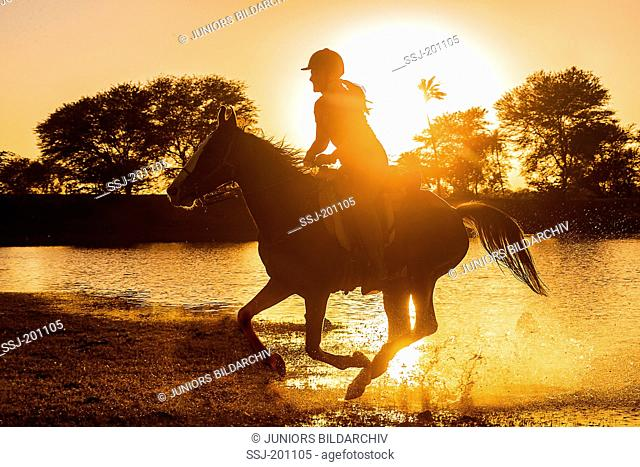 Kathiawari Horse. Woman rider galloping on a chestnut mare, silhouetted against the setting sun. Rajasthan, India