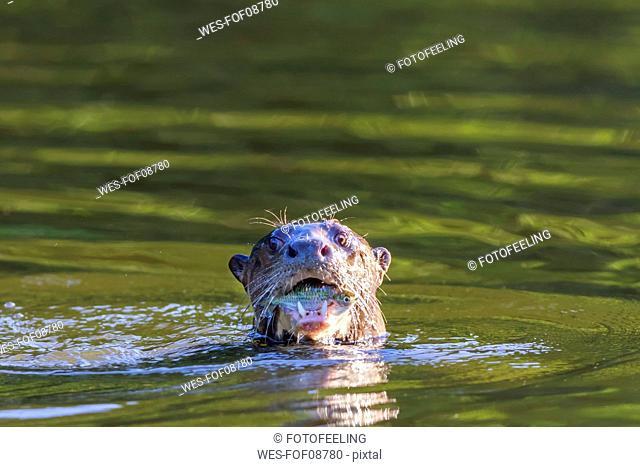 Peru, Manu National Park, Cocha Salvador, Giant otter with prey fish