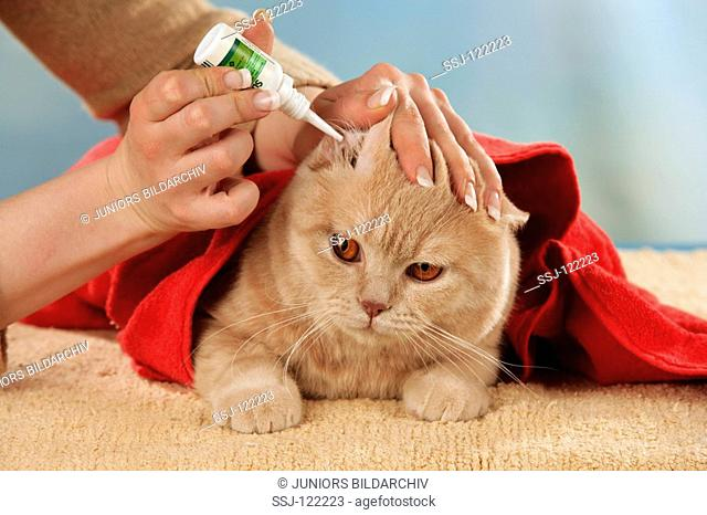 British Shorthair - cleaning ears