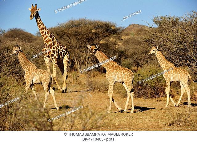 Three young Giraffes (Giraffa camelopardalis) with mother, region Otjozondjupa, Namibia