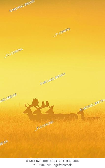 Fallow Deers (Cervus dama) on misty morning at sunrise, Hesse, Germany, Europe