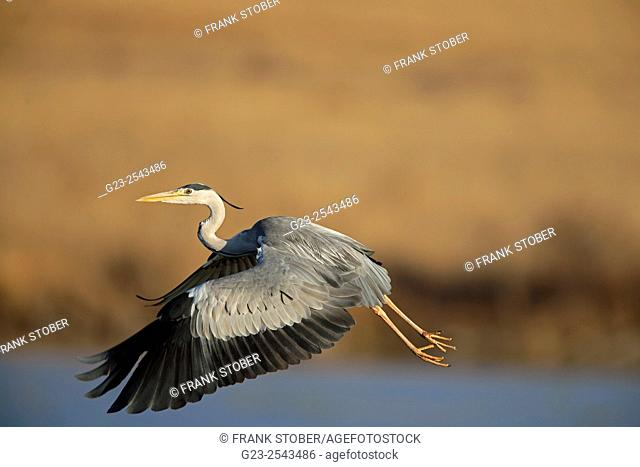 Flying common heron. Pilanesberg Game Reserve, South Africa
