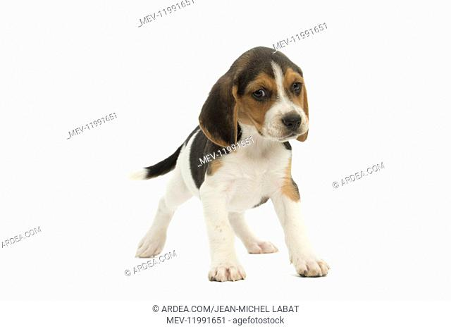 Beagle Dog, puppy