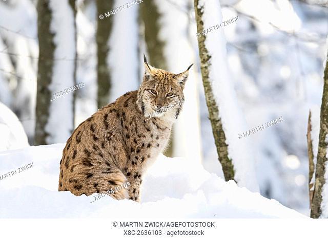 Eurasian lynx (Lynx lynx ) during winter in National Park Bavarian Forest (Bayerischer Wald). Europe, Central Europe, Germany, Bavaria, January