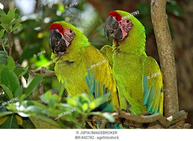 Military Macaw (Ara militaris), adult pair perched on a tree, Roatan, Honduras, Central America
