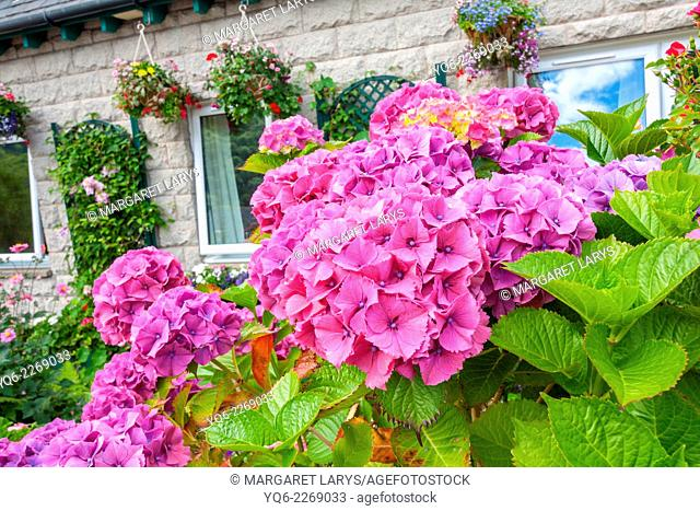 Beautiful hydrangeas in the garden