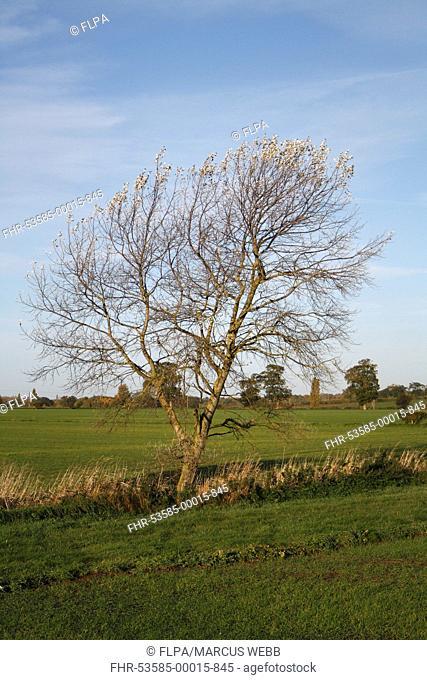 White Poplar Populus alba habit, growing at edge of field in arable farmland, Wickham Skeith, Suffolk, England, october