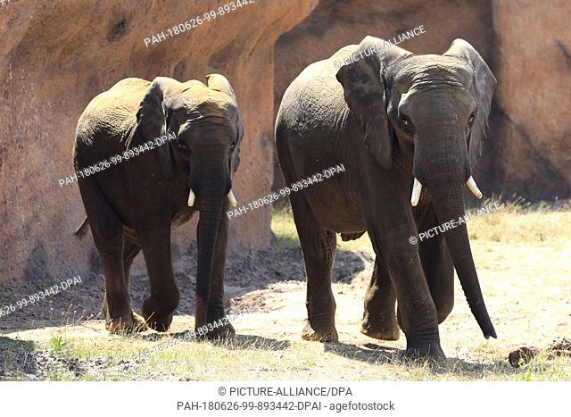 26 June 2018, Germany, Magdeburg: The African elephant bulls Moyo (5 years) and Uli (7 years) walking through their enclosure at AFRICAMBO in the zoological...