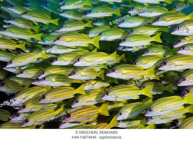 Blaustreifen-Schnapper, Lutjanus kasmira, Ellaidhoo Hausriff, Nord Ari Atoll, Malediven, Shoal of Bluestripe Snapper, Lutjanus kasmira, Ellaidhoo House Reef